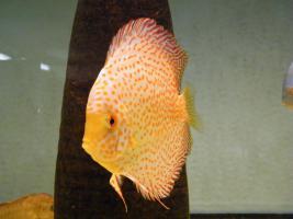 Diskusfische aus Privater Hobbyzucht ab 6 €