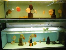 Foto 5 Diskusfische aus Privater Hobbyzucht ab 6 €