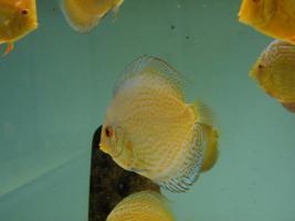 Foto 2 Diskusfische zu g�nstigen Preisen ab 6 �