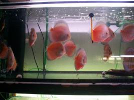 Foto 2 Diskusfische in verschiedene Farben und Gr��en