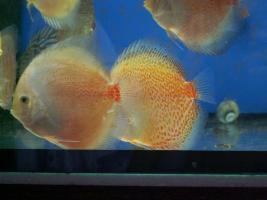 Foto 3 Diskusfische in verschiedene Farben und Gr��en
