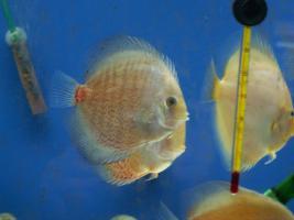 Foto 4 Diskusfische in verschiedene Farben und Gr��en