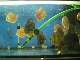 Foto 5 Diskusfische in verschiedene Farben und Gr��en