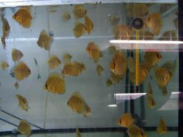 Diskusfische in verschiedenen Farben und Größen