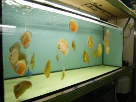 Diskusfische in verschiedenen Farben und Gr��en ab 6 �