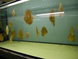 Foto 3 Diskusfische in verschiedenen Farben und Gr��en ab 6 �