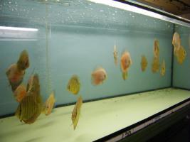 Foto 4 Diskusfische in verschiedenen Farben und Gr��en ab 6 �