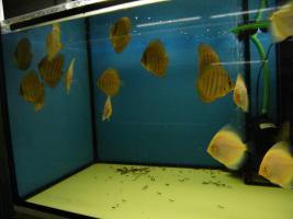 Foto 5 Diskusfische in verschiedenen Farben und Gr��en ab 6 �