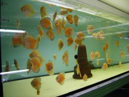 Diskusfische  vom Privatzüchter ab 6 €
