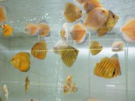 Foto 5 Diskusfische  vom Privatzüchter ab 6 €