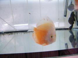 Foto 7 Diskusfische zu  günstigen Preisen