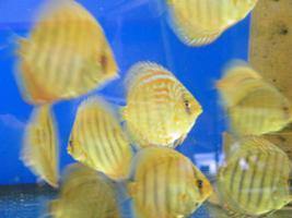 Foto 2 Diskusfische  in verschiedenen Farben und Größen ab 6 €