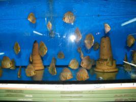 Foto 3 Diskusfische  in verschiedenen Farben und Größen ab 6 €