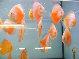 Diskusfische  in verschiedenen farben und größen ab 6 €