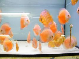 Foto 7 Diskusfische  in verschiedenen farben und größen ab 6 €