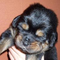 Foto 3 Do Khyi Welpen (tibet. Berghund)