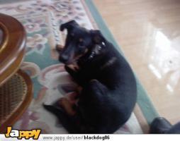 Doberman / belgischer Schäferhund (Malinouse), schwarz, 2 monate