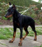 Dobermann Apollo gestohlen!!!