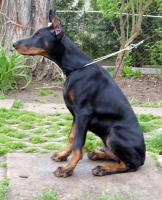 Foto 3 Dobermann Apollo gestohlen!!!