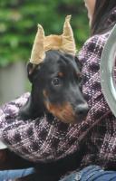 Foto 3 Dobermann Welpen 3,5 Monate - FCI Zucht
