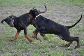 Foto 7 Dobermann Welpen 3,5 Monate - FCI Zucht