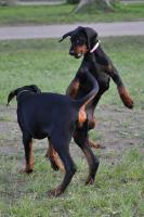 Foto 8 Dobermann Welpen 3,5 Monate - FCI Zucht