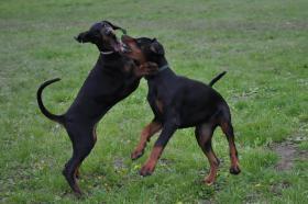 Foto 9 Dobermann Welpen 3,5 Monate - FCI Zucht