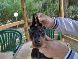 Foto 6 Dobermann-Welpen und erwachsene Hunde zu verkaufen