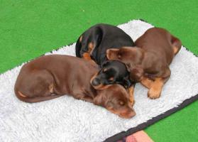 Foto 3 Dobermann Welpen in schwarz-braun
