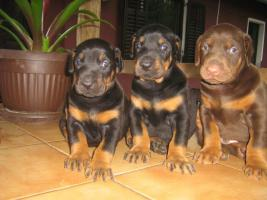 Foto 3 Dobermann Welpen zu verkaufen