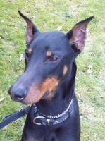 Foto 2 Dobermann treuer Rüde 1. Jahr kostenlos an Dobermannliebhaber