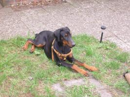Dobermann ( Welpe) Junghund