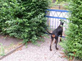 Foto 4 Dobermann ( Welpe) Junghund