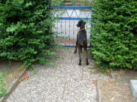 Foto 5 Dobermann ( Welpe) Junghund