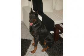 Foto 7 Dobermann ( Welpe) Junghund