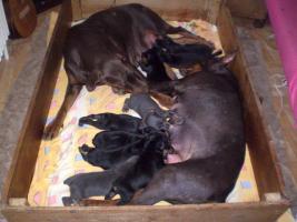 Foto 4 Dobermann - schwarze und blaue Welpen aus CZ Zuchtgruppe