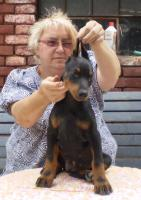 Foto 3 Dobermannwelpe, Hündin, mit FCI Stammbaum, vollkupiert