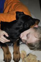 Foto 2 Dobermannwelpen 5 Monate