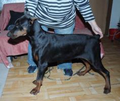 Foto 6 Dobermannwelpen, Jungtieren, mit FCI Ahnentafels, schwarz