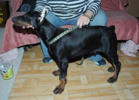 Foto 7 Dobermannwelpen, Jungtieren, mit FCI Ahnentafels, schwarz