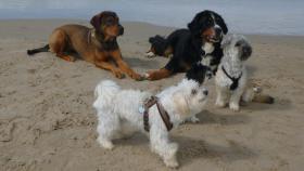 Foto 6 Doggen-Mix-Welpen