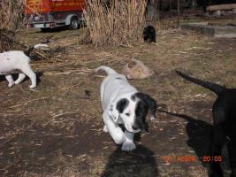 Foto 3 Doggen/Neufundl�ndermixwelpen