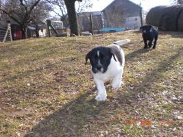 Foto 4 Doggen/Neufundl�ndermixwelpen