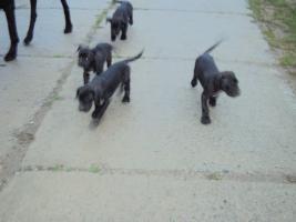 Foto 3 Doggenwelpen