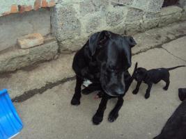 Foto 4 Doggenwelpen