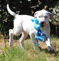 Dogo Argentino Welpe sucht ein gutes Zuhause