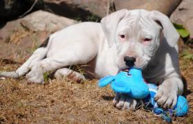 Foto 2 Dogo Argentino Welpe sucht ein gutes Zuhause