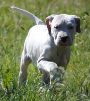 Foto 3 Dogo Argentino Welpe sucht ein gutes Zuhause