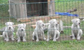Dogo Argentino Welpen abzugeben ab Mitte / Ende August 2012