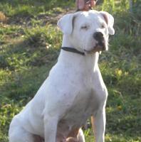 Foto 4 Dogo Argentino Welpen abzugeben ab Mitte / Ende August 2012